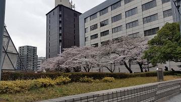 平成最後の春 築地の桜